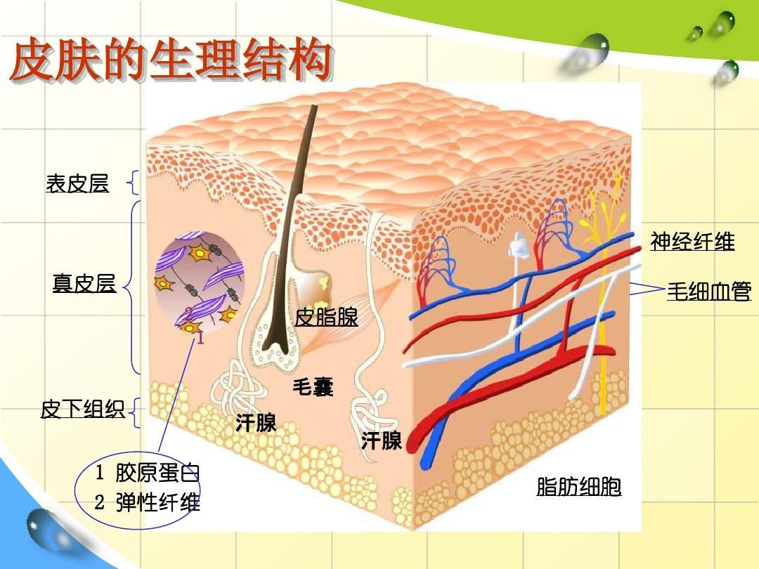 经济    皮肤结构   首先皮肤分为三层:表皮,真皮,皮下组织.